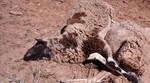 Los pagos compensatorios por ataques de lobos establecen ayudas de 140 euros para las ovejas muertas