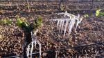 Las heladas destrozan gran parte de los viñedos de las DO de Castilla y León