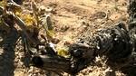 Ribera de Duero reconoce que la helada de esta madrugada restará producción