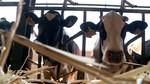 Vacas de sobresaliente