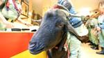 Una bodega de Toro organiza un concierto de cámara para cabras de Vezdemarbán (Zamora)