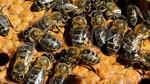 La varroa amenaza la caba�a ap�cola de Castilla y Le�n