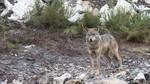 Un lobo del Centro del Lobo Ib�rico de Robledo, Zamora, ataca y hiere a uno de sus cuidadores