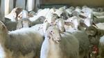 El número de animales sacrificados en mataderos de Castilla y León ascendió a 78,54 millones en 2017, un 2% menos