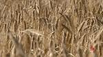 La cebada híbrida genera una producción de un 40 por ciento más que la convencional