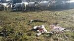 Un ganadero de Sayago denuncia que los cuervos mataron a seis corderos en la última semana