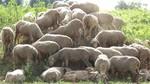 La Junta adelanta el 50% de ayudas asociadas al ovino y caprino por un importe de 13,6 millones