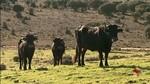 Abejar (Soria) pone en valor la carne de la Vaca Serrana