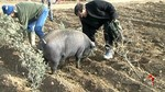 La hembra de cerdo ibérico, infalible en la búsqueda de trufas negras