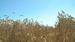 La cosecha de cereal de invierno en Castilla y León,  un 59 por ciento menos que la media del último lustro