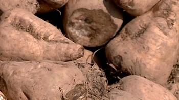 Agricultores advierten de los beneficios del riego solar en los cultivos de remolacha