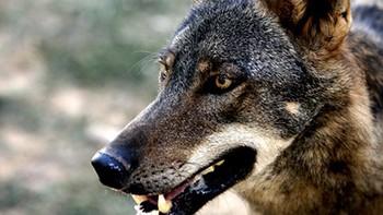 UPA-COAG se moviliza para que se mantenga el aprovechamiento cinegético del lobo al norte del Duero
