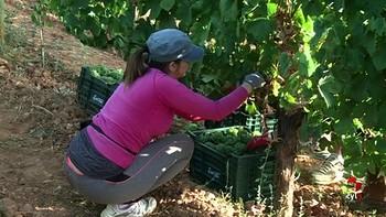 Problemas en las bodegas; no hay gente que quiera trabajar recogiendo uva
