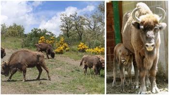 Los bisontes ampl�an su familia palentina