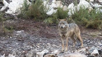 WWF lamenta la unión del PP, PSOE y Ciudadanos 'contra el lobo'