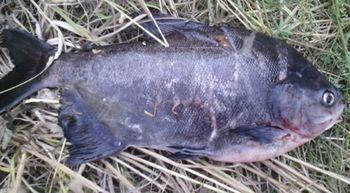 Aparece un pac�, un pez pariente de la pira�a y propio del Amazonas, en Le�n