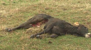 Los ganaderos exigen a la Junta control poblacional del lobo y qu...