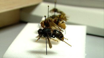 La Junta reclama 'tranquilidad y prudencia' ante la aparición de un nido de avispa asiática en el Bierzo