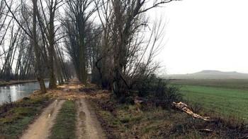 La CHD reforestará con 1.500 árboles de especies autóctonas siete kilómetros del Canal de Castilla en Medina de Rioseco