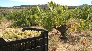La primera vendimia en la provincia de Ávila bajo la DOP Vinos de Cebreros se adelanta