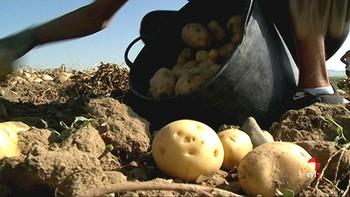 La patata ya está 'caliente'
