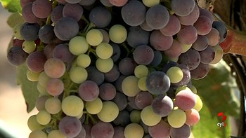 El inicio del envero en la D.O. Ribera de Duero marca la fecha de vendimia en unos 40 días