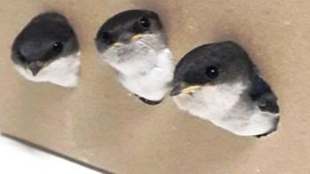 Investigan a una persona por destruir en un pueblo de Zamora varios nidos de avión común, una especie amenazada