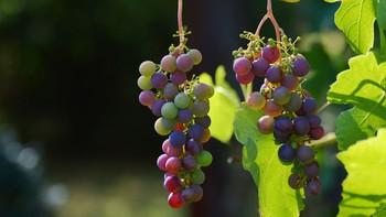 La vendimia en la DO Cigales alcanza los 2 millones de kilos en las bodegas de uva sana