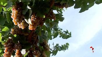 Rueda inaugura la temporada de vendimia en Castilla y León