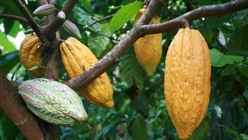 Los antioxidantes del cacao pueden ayudar a retrasar la diabetes tipo 2