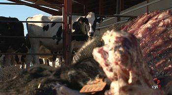 Asaja pide que los da�os causados por ataques de lobos al ganado se cuenten como p�rdida patrimonial