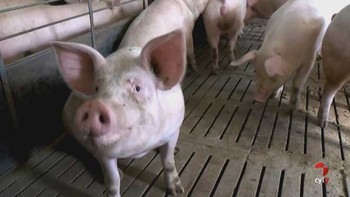 El sector porcino goza de buena salud