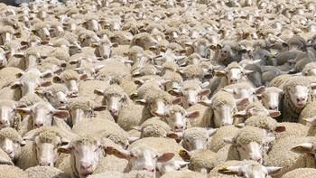 En busca de una leche de oveja más saludable y rentable para el ganadero
