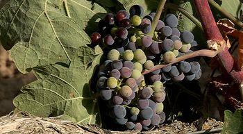 El envero de las uvas indica que se acerca la vendimia