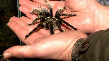 El Museo de la Ciencia reúne a medio centenar de arañas vivas en la exposición '¿Arácnidos? Sí, gracias'