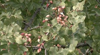 Campa�a de pistachos en Castilla y Le�n