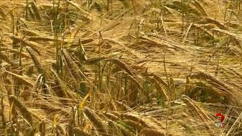 Cerca de 400 agricultores participan en las jornadas para conocer la siembra de cinco variedades de colza en regadío