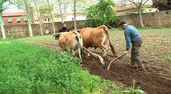 Carrizo de la Ribera recrea en una jornada c�mo se labraba la tierra con bueyes