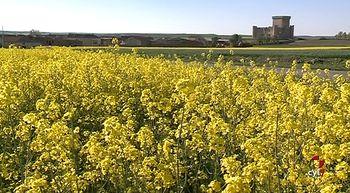 El cultivo de colza gana terreno en Castilla y Le�n