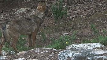 Relacionan el ataque de lobo sufrido en Robledo con un sabotaje ocurrido en el centro un d�a antes