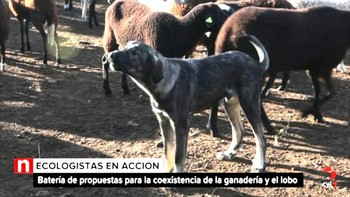 Ecologistas defienden el uso de mastines o el pastor tradicional para la coexistencia de ganadería y lobo