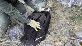 Agentes medioambientales de la Junta rescatan a un pollo de buitre negro en el embalse del Pontón Alto, Segovia