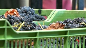 Comienza la vendimia en Toro con previsión de recoger unos 5 millones de kilos más que en 2017