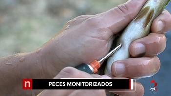 LA CHD monitoriza peces con un microchip en la cuenca del río Tormes para estudiar su comportamiento
