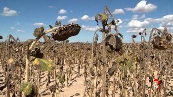 El girasol sigue ganando terreno en Castilla y León