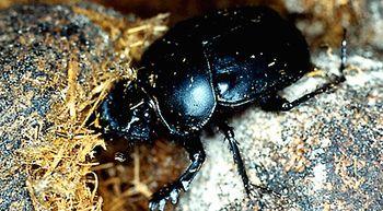 Los escarabajos peloteros se orientan por la vía láctea
