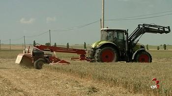 Los agricultores siegan en verde por la mala cosecha que se avecina