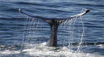 Los europeos ya comían carne de ballena hace 14.000 años