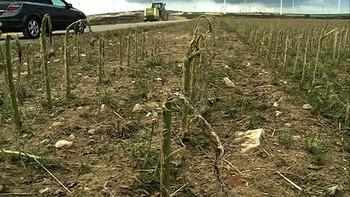 El granizo daña 2.500 hectáreas de cultivo en Burgos