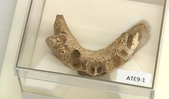 Los primeros homínidos de Atapuerca también se alimentaban de vegetales